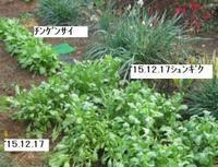 '15.12.17畑様子�C.JPG