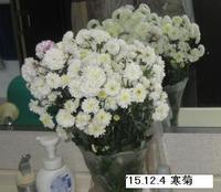 '15.12.4寒菊.JPG