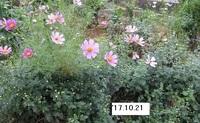 '17.10.21畑中コスモスと菊.JPG