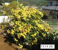 '17.11.23畑菊�A.JPG