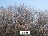 '17.2.21散歩コース梅.JPG