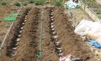 '17.3.7ジャガイモ(デジマ1kg種植え.JPG