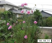 '18.10.11畑コスモス�A.JPG
