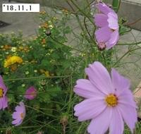 '18.11.1コスモス・菊.JPG