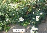 '18.11.6畑菊�A.JPG