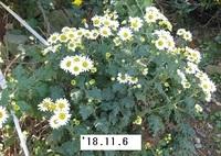 '18.11.6畑菊�D.JPG