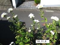 '18.11.6畑菊�G.JPG