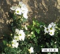 '18.11.8菊�D.JPG