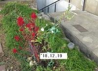 '18.12.19寒菊�B.JPG