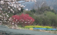 '18.3.26森山町花見�H.JPG