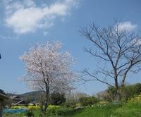 '18.3.28散歩桜�@.JPG