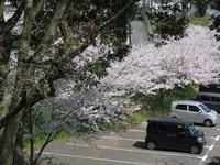 '18.3.28散歩桜�A.JPG