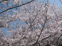 '18.3.28散歩桜�D.JPG