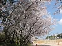 '18.3.28散歩桜�F.JPG