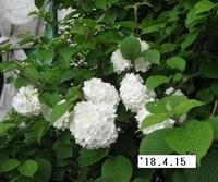 '18.4.15畑花�A.JPG