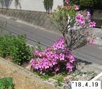 '18.4.19ヨドガワツツジ.JPG