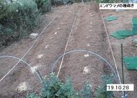 '19.10.28エンドウマメの種蒔き.JPG