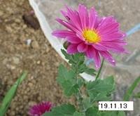 '19.11.13畑菊�C.JPG