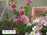 '19.12.10寒菊�A.JPG