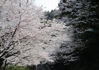 '19.3.29森山街道桜�A.JPG