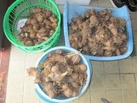 '19.4.10サトイモ収穫.JPG