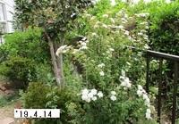 '19.4.14花壇雪柳.JPG