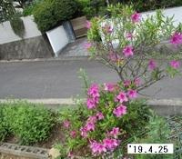 '19.4.25淀川ツツジ.JPG