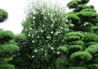 '19.7.3梅雨の木花.JPG