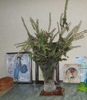 '19.9.19紫蘇の花.JPG