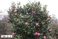 '20.3.7庭の椿.JPG