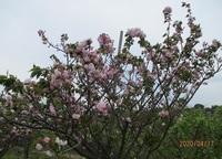 '20.4.17八重桜.JPG