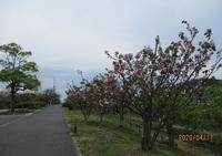 '20.4.17八重桜並木.JPG