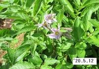 '20.5.12ジャガイモの花.JPG