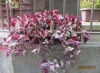 '20.9.18プランターの花.JPG