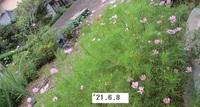'21.6.8コスモス畑.JPG