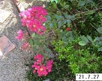 '21.7.27サルスベリの花.JPG