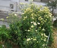 '11菊の花�@.jpg