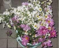 '11.11.23菊の花.jpg