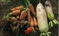'11.12.23野菜収穫.jpg