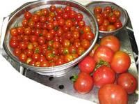 '11.7.14トマトの収穫.jpg