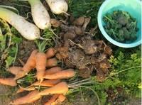 '12.1.9野菜収穫.jpg