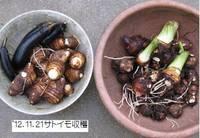 '12.11.21サトイモ収穫.jpg