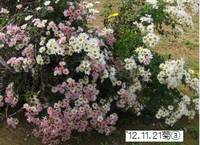 '12.11.21菊�B.jpg