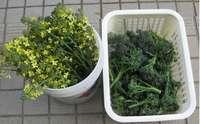 '12.4.6ブロッコリー収穫.jpg