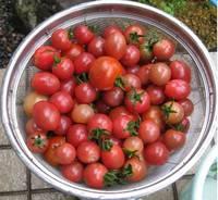 '12.7.2野菜収穫�@.jpg