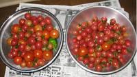 '12.7.8野菜収穫�@.jpg