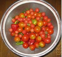 '12.8.16ミニトマト最終収穫.jpg