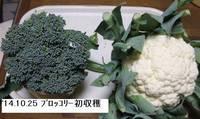 '14.10.25ブロッコリー初収穫.jpg