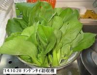 '14.10.28チンゲンサイ初収穫.jpg