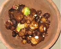 サトイモ収穫'12.12.13.jpg